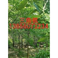 特供:三角枫,红叶李 ,乌桕  ,红白玉兰,香樟,桂花金桂)