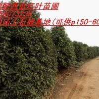 土石楠,金桂,,朴树,重阳木,乌桕