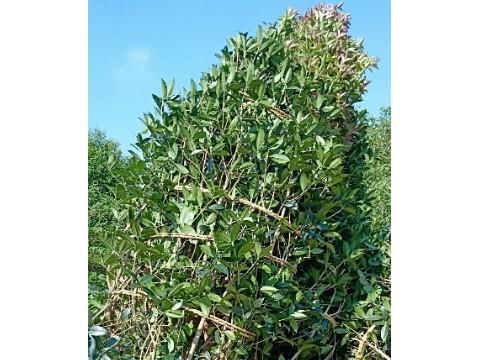 金桂,红叶石楠,朴树,重阳木,,红叶李 ,乌桕 ,红白玉兰