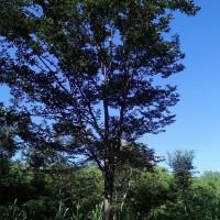 榉树小苗 _3公分榉树小苗价格_3公分榉树小苗批发