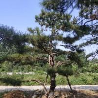 山东造型松,造型黑松,造型油松,黑松油松景观松火热供应