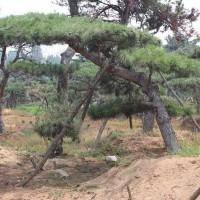 15公分造型油松,造型黑松大量