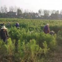 广西梧州湿地松供应-年产千万株湿地松苗-美洋洋绿化