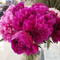 芍药鲜切花、鲜花芍药预售、菏泽直发