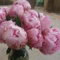 家庭水养插花芍药、芍药鲜切花