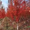 长期供应美国红枫,各种规格银杏,法桐,樱花各种果树