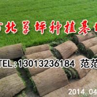 廊坊草坪 北方专用草坪 北京草坪销售