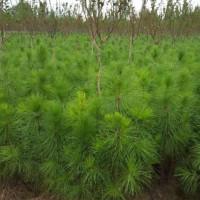 山东东营湿地松苗供应_优质湿地松-随州希望苗圃