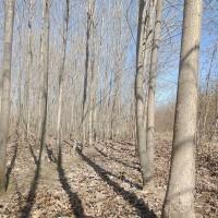 白蜡绿化树3-10公分抛售