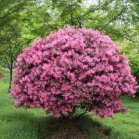 供应红花檵木,成都基地直销,量大从优