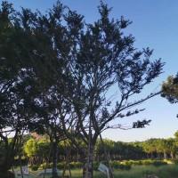 朴树四季常青庭院街道绿植