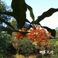 桂花树,2公分桂花树,桂花树移栽苗,精品桂花树工程苗