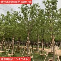 香樟树绿化工程驱蚊虫漳州基地直销