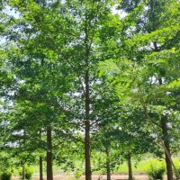 供应银杏树1-80公分