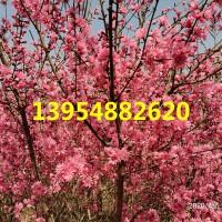 泰安4公分5公分6公分7公分8公分菊花碧桃价格