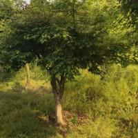 10-18公分鸡爪槭供应