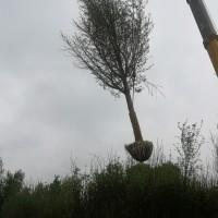 长期供应1—80公分银杏树,法桐美国红枫樱花国槐,精品石榴树