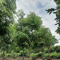 15公分全冠腊肠树假植苗,货源广东中山