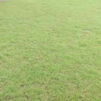 台湾草/广东台湾草皮/三水台湾草/草皮基地