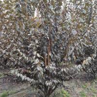 供应优质低分枝紫叶李