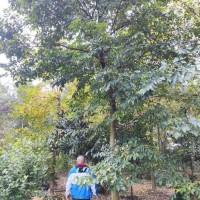 四川成都地区供应16-17公分优质熟货朴树,货真价实,装车价