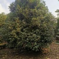 河南红叶石楠树价格-红叶石楠球的价格是多少