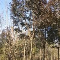 热销彩叶8公分秋紫白蜡批发成活率高