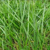 南宁景龙生态大量马尼拉草等草种种子、牧草种子批发