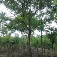 南京乌桕种植地乌桕树今年价位怎么样了