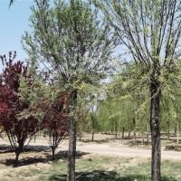 馒头柳·馒头柳图片·馒头柳种植基地