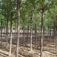 供应榆树、榆树价格/图片/基地 优质榆树苗圃直销