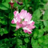 南宁景龙生态大量紫云英等花卉种子批发