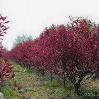 北京绿化苗木廊坊绿化苗木矮樱出售