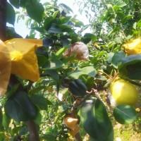 供应梨树苗  新品种梨树苗价格  全红梨树苗批发