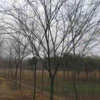 榉树价格,南京红榉树价格报价