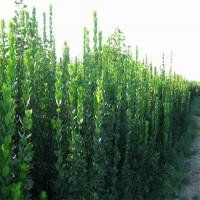 青州北海道黄杨丛生1.8米低价出售处理