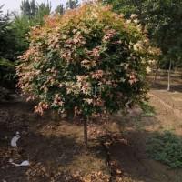 北京廊坊绿化苗木五角枫球树出售