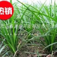 陕西小叶绿化麦冬草批发基地|产地直销|自产自销