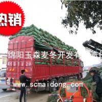 浙江小叶绿化麦冬草批发基地|自产自销|产地批发