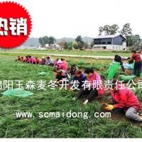 绵阳三台细叶绿化麦冬草批发基地|自产自销|产地批发