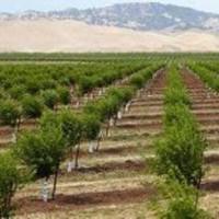 种植巴旦木树苗从育苗到清脆可口经历了几个周期?