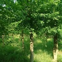 15乌桕树